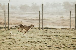 Cheetah sprinting.